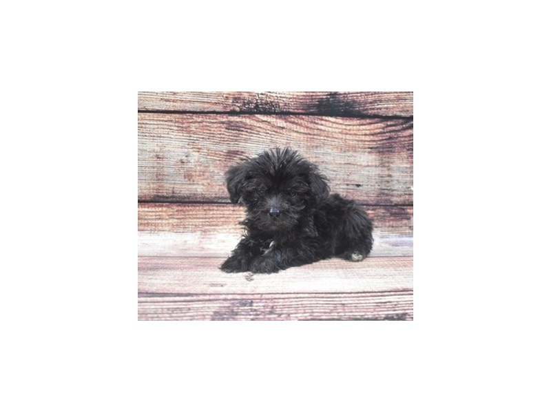 Schnoodle-Male-Black-2818193-Pet City Houston