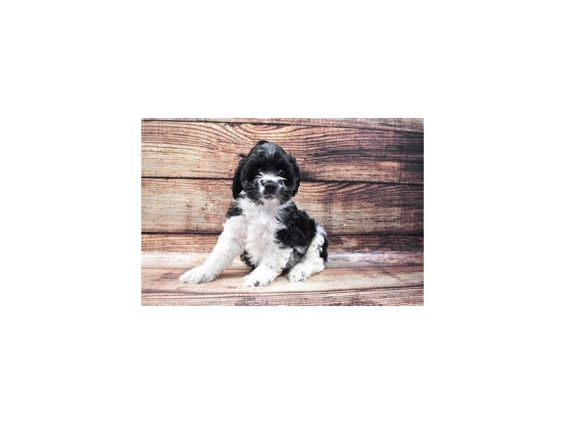 Cocker Spaniel-Male-Black and White-2818230-Pet City Houston