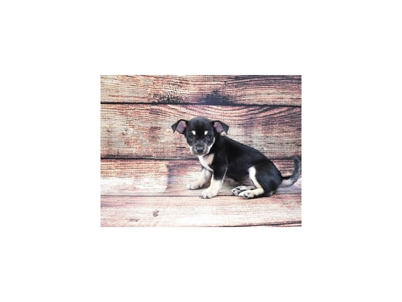 Chihuahua-Female-Black and Tan-2818279-Pet City Houston