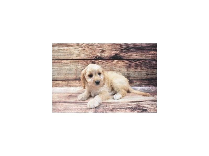 Cavachon-Female-Ruby-2818314-Pet City Houston