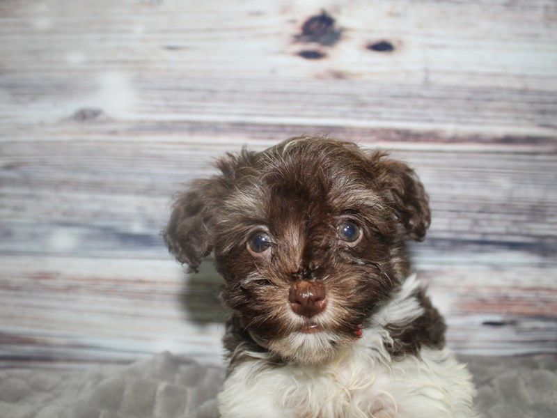 Havanese-Female-CHOCOLATE-2819518-Pet City Houston