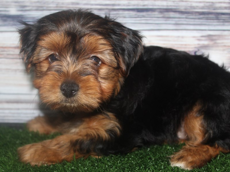 Yorkshire Terrier-Male-BLK/TAN-2819271-Pet City Houston