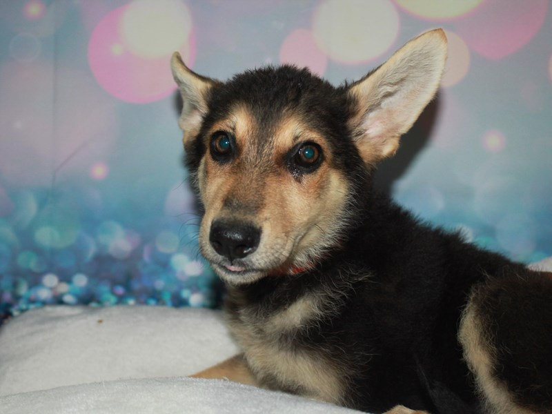 German Shepherd-Female-Blk/Tan-2744840-Pet City Houston