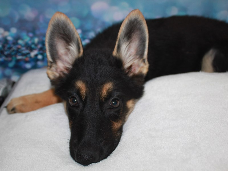 German Shepherd-Male-Blk/Tan-2744837-Pet City Houston