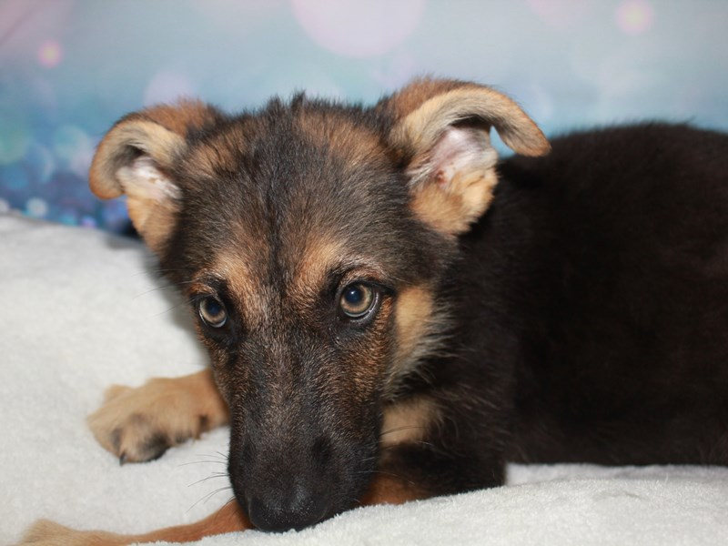 German Shepherd-Male-Blk/Tan-2744842-Pet City Houston