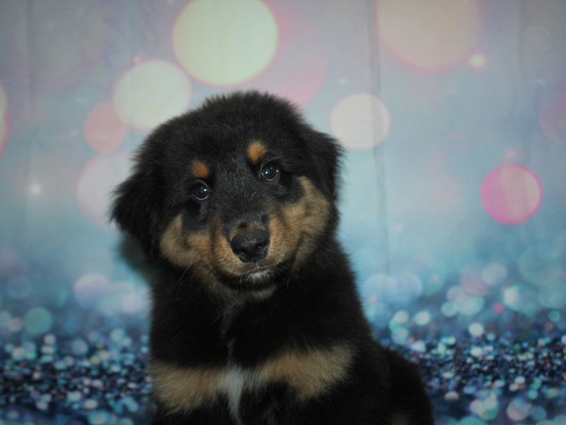 Australian Shepherd-Male-BLK TRI-2782263-Pet City Houston