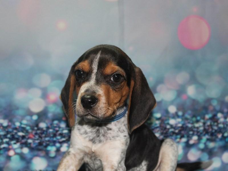Beagle-Male-Black White / Tan-2768293-Pet City Houston
