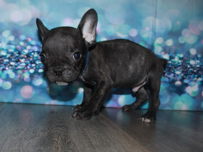 French Bulldog-Male-Black-2788757-Pet City Houston