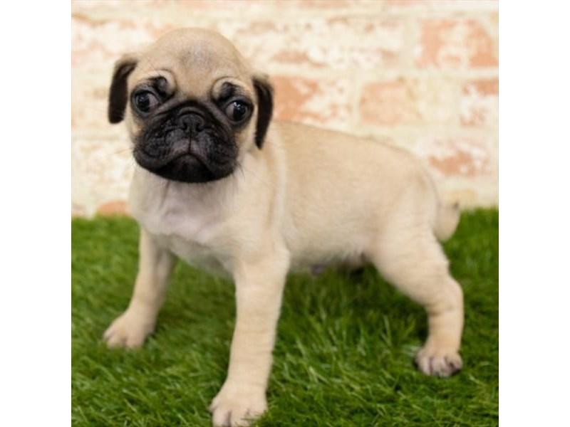 Pug-Male-Fawn-2800367-Pet City Houston