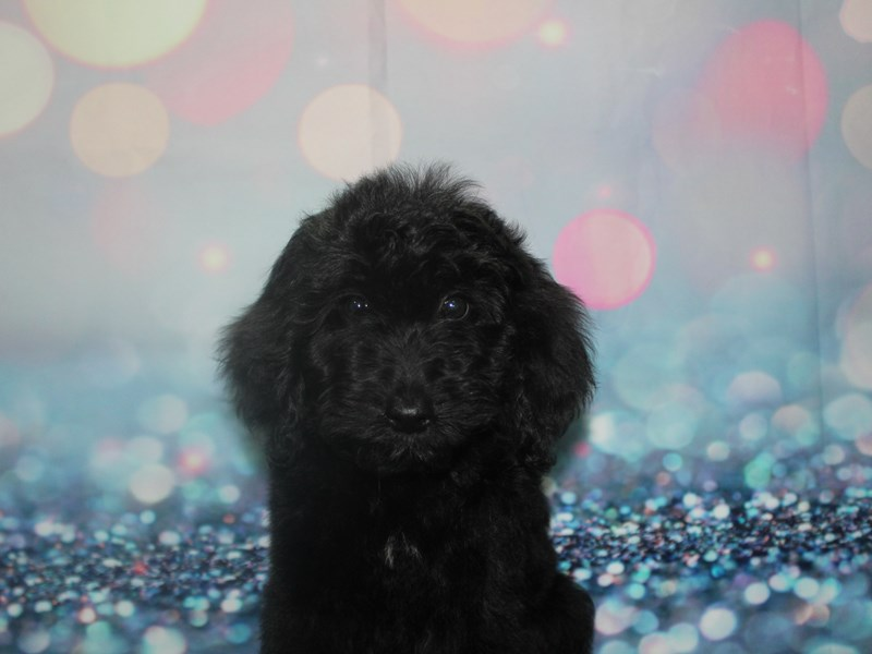 Goldendoodle-Female-BLK-2802965-Pet City Houston