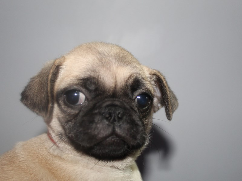 Pug-Female-Fawn/ BLK-2811153-Pet City Houston