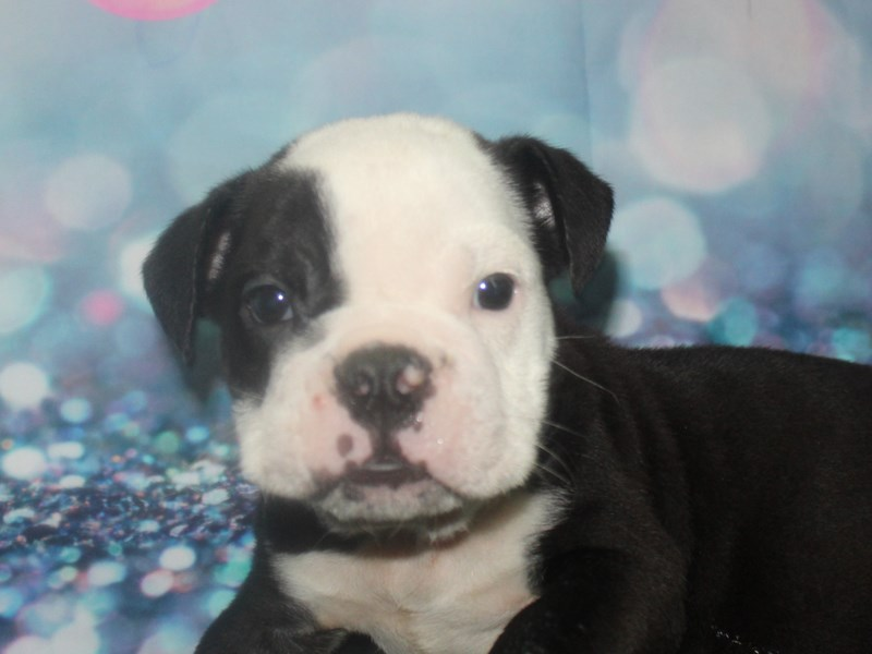English Bulldog-Male-Black & White-2811107-Pet City Houston