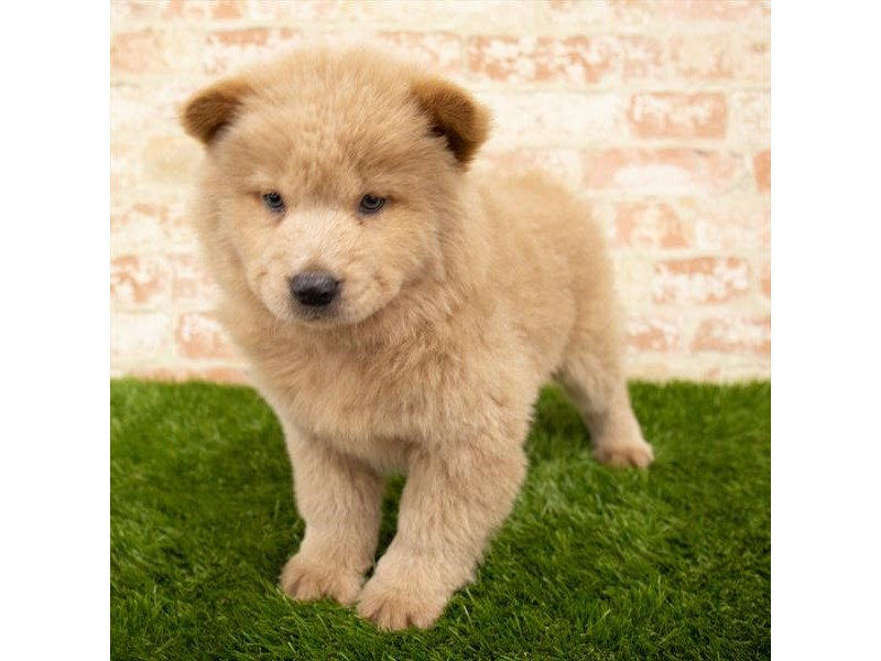 Chow Chow-Female-Orange-2814710-Pet City Houston