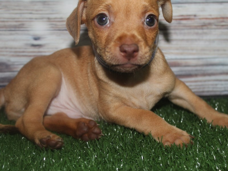 Chiweenie-Male-FAWN-2817188-Pet City Houston