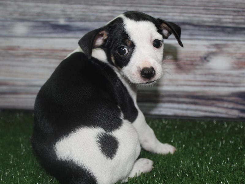 Chiweenie-Male-BLK/ WHITE-2817198-Pet City Houston