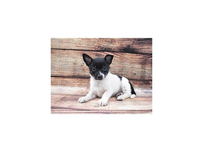 Pomchi-Male-Black and White-2818252-Pet City Houston