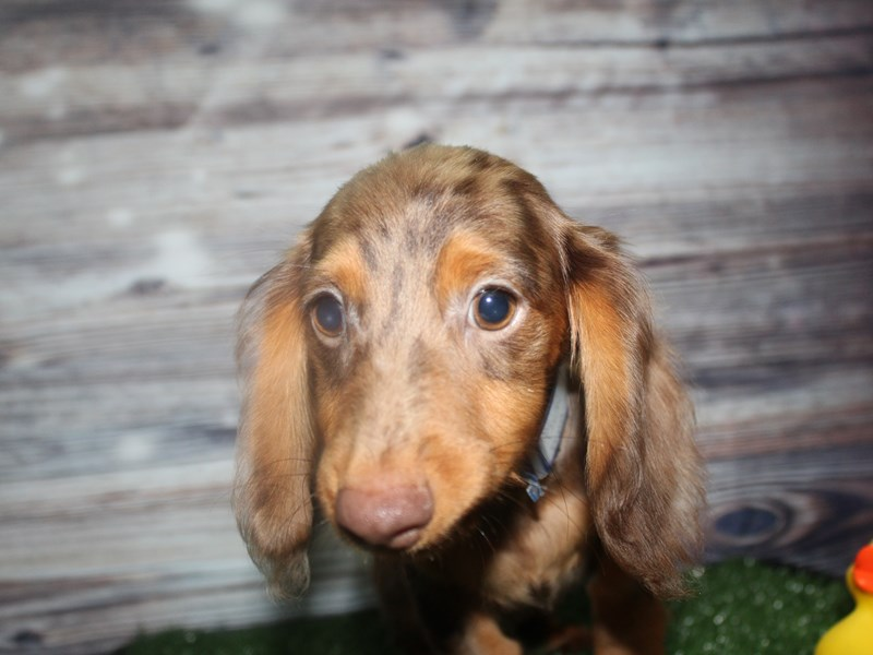 Dachshund-Male-CHOCOLATE-2819306-Pet City Houston