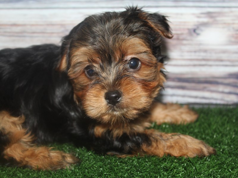 Yorkshire Terrier-Male-BLK/TAN-2819268-Pet City Houston