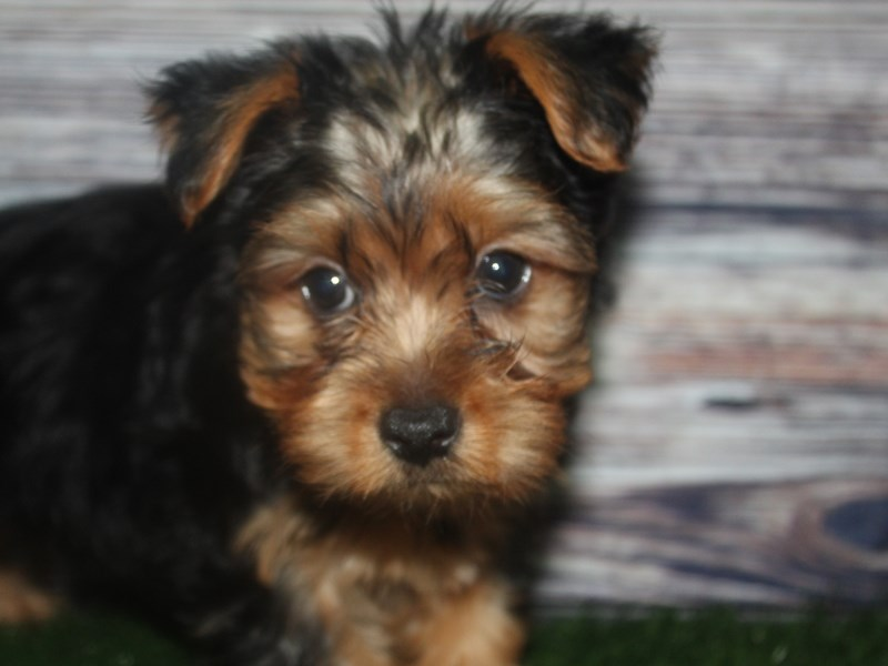 Yorkshire Terrier-Male-BLK/TAN-2819270-Pet City Houston