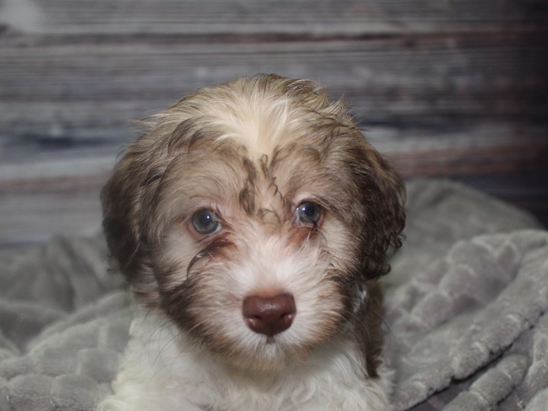 Havanese-Male-CHOCOLATE-2819510-Pet City Houston