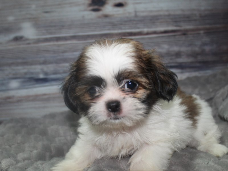 Shih Tzu-Male-TRI-2819224-Pet City Houston
