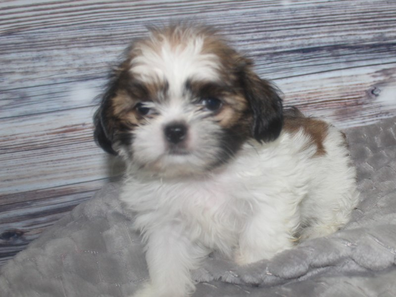 Shih Tzu-Male-TRI-2819227-Pet City Houston