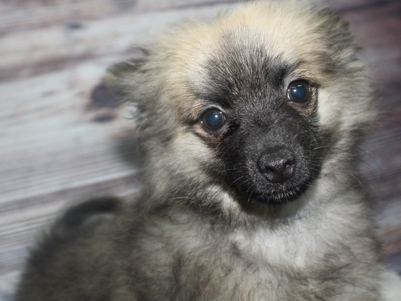Pomeranian-Male-Wolf Sable-2819558-Pet City Houston