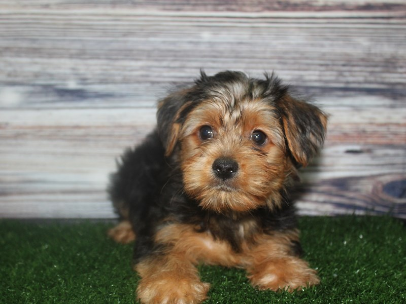 Yorkshire Terrier-Male-BLK/TAN-2819267-Pet City Houston