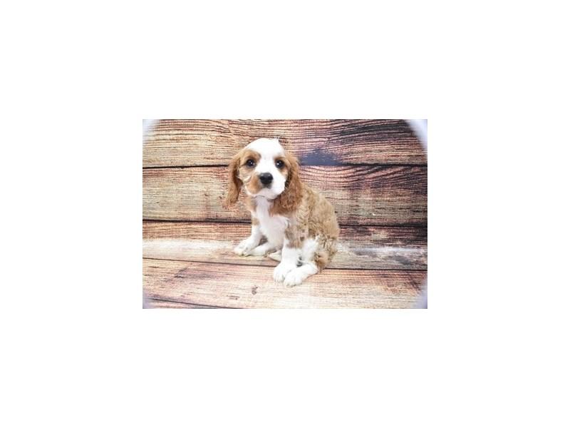 Cavalier King Charles Spaniel-Male-Blenheim-2825985-Pet City Houston