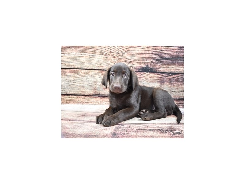 Labrador Retriever-Female-Chocolate-2826107-Pet City Houston