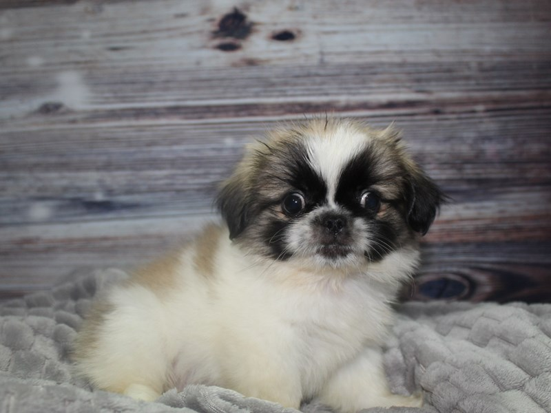 Pekingese-Male-Parti-2827342-Pet City Houston