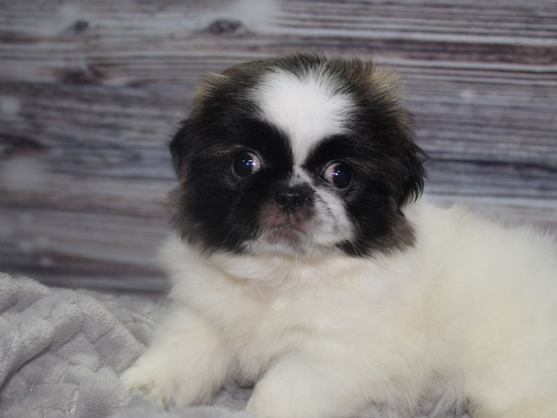 Pekingese-Female-Parti-2827346-Pet City Houston