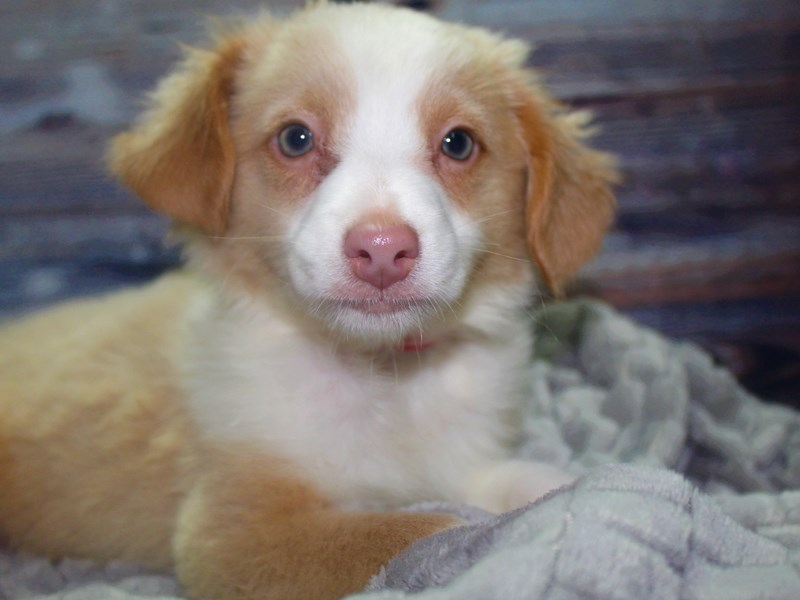 Australian Shepherd-Male-Blonde-2827226-Pet City Houston
