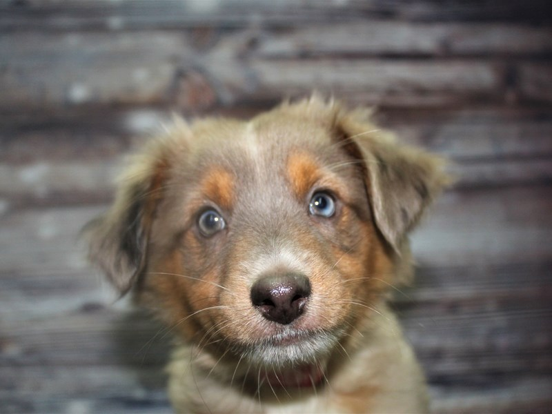 Australian Shepherd-Male-Merle-2827230-Pet City Houston