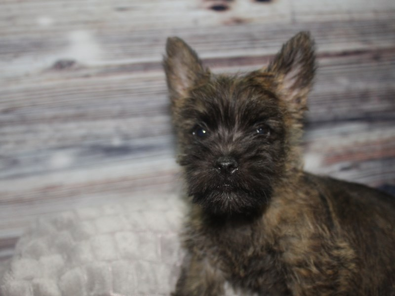 Cairn Terrier-Male-Brindle-2827321-Pet City Houston