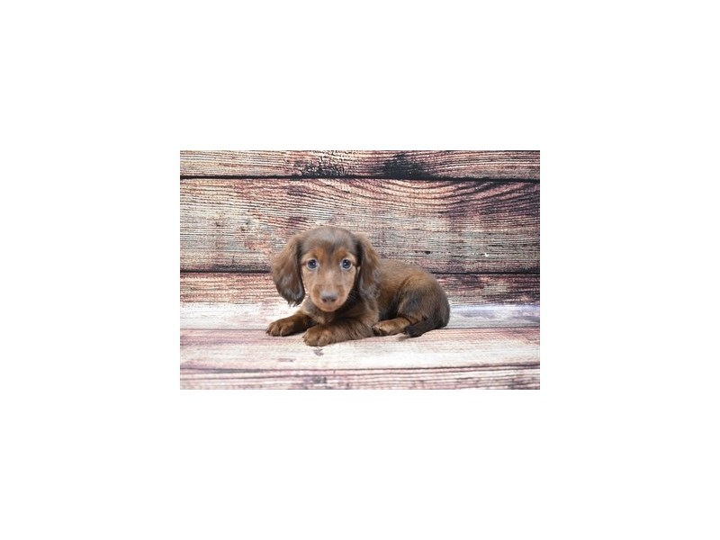 Dachshund-Female-Chocolate and Tan-2832531-Pet City Houston
