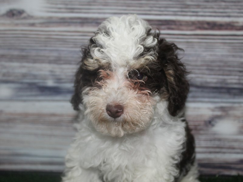Toy Poodle-Male-CHOCOLATE-2830974-Pet City Houston