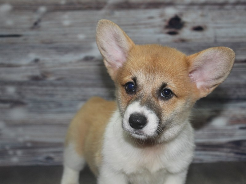 Pembroke Welsh Corgi-Female-RED/WHT-2830950-Pet City Houston