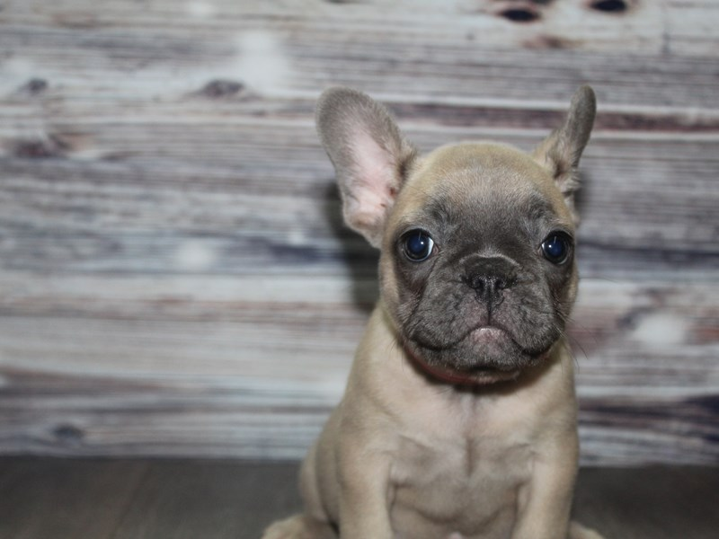 French Bulldog-Female-BLUE FAWN-2832046-Pet City Houston