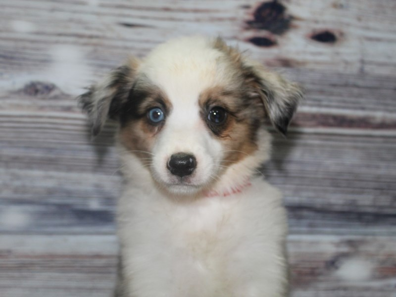Miniature Australian Shepherd-Female-Merle-2832027-Pet City Houston