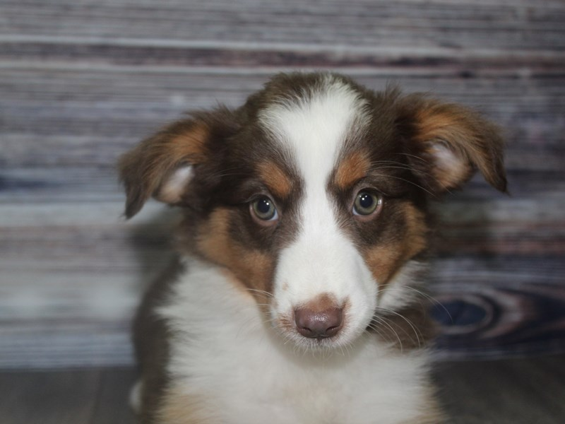 Miniature Australian Shepherd-Female-Red-2832022-Pet City Houston