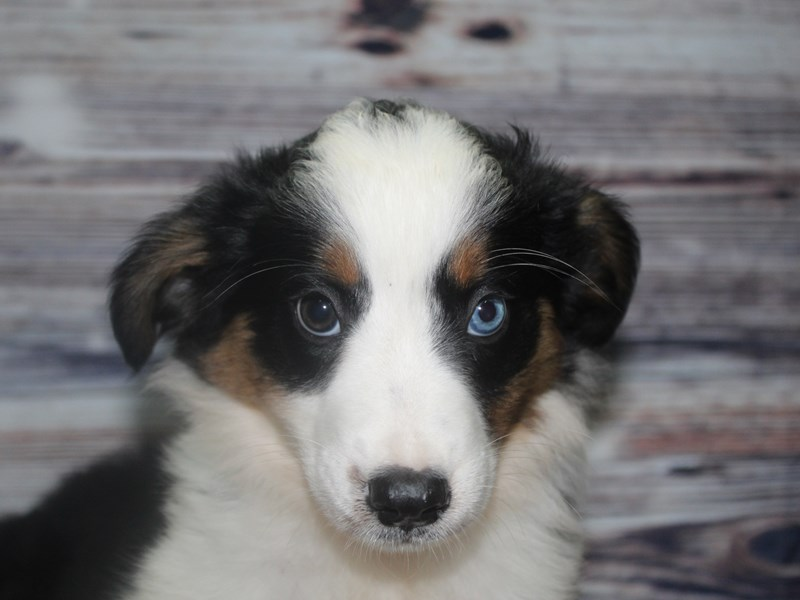 Miniature Australian Shepherd-Male-BLK TRI-2832029-Pet City Houston