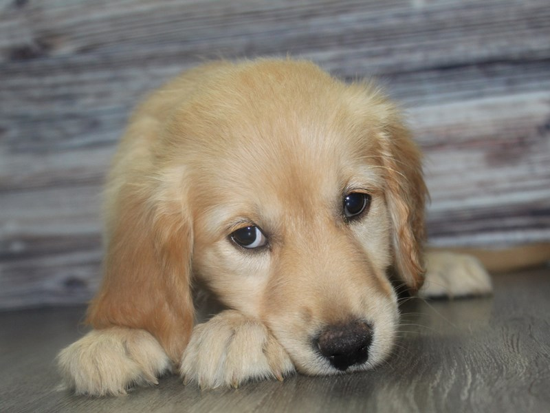 Golden Retriever-Female-GOLDEN-2831757-Pet City Houston
