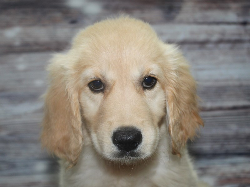 Golden Retriever-Male-GOLDEN-2831764-Pet City Houston