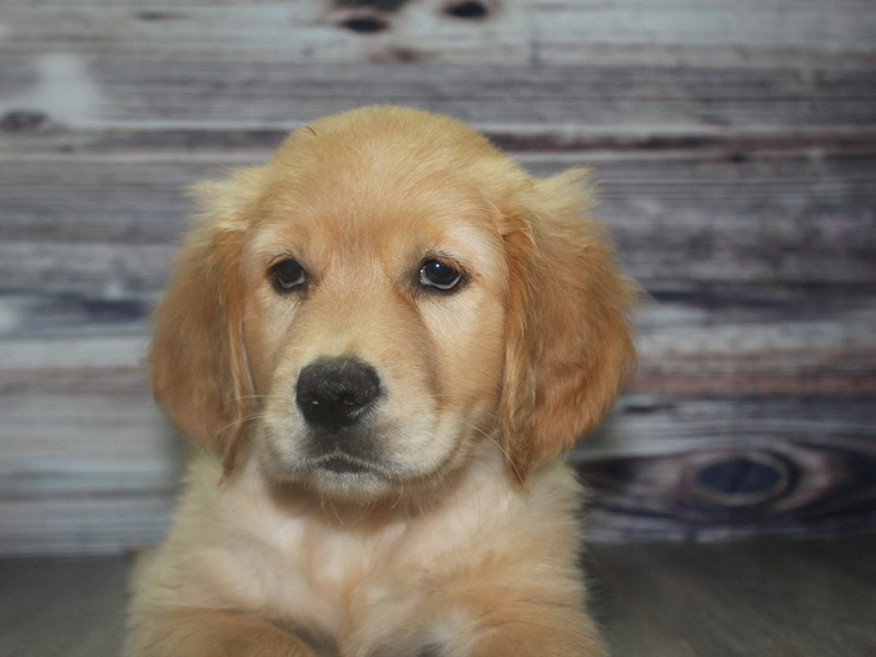 Golden Retriever-Female-GOLDEN-2831762-Pet City Houston