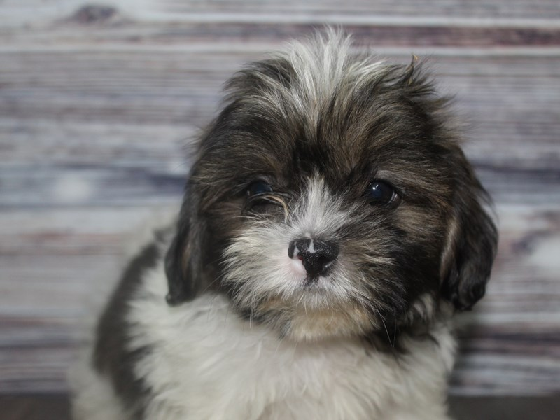 Shih Tzu-Male-BRINDLE/ WHITE-2831974-Pet City Houston