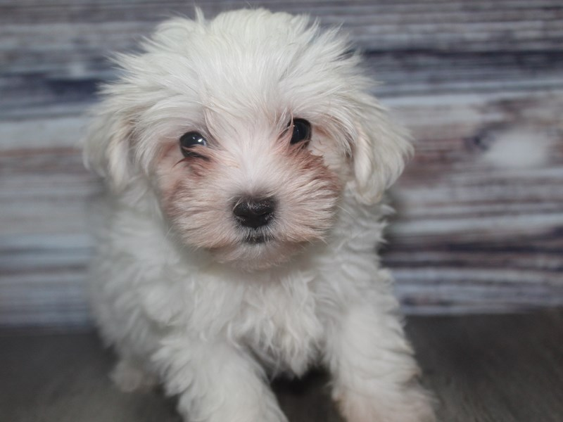 Maltese-Male-White-2831954-Pet City Houston