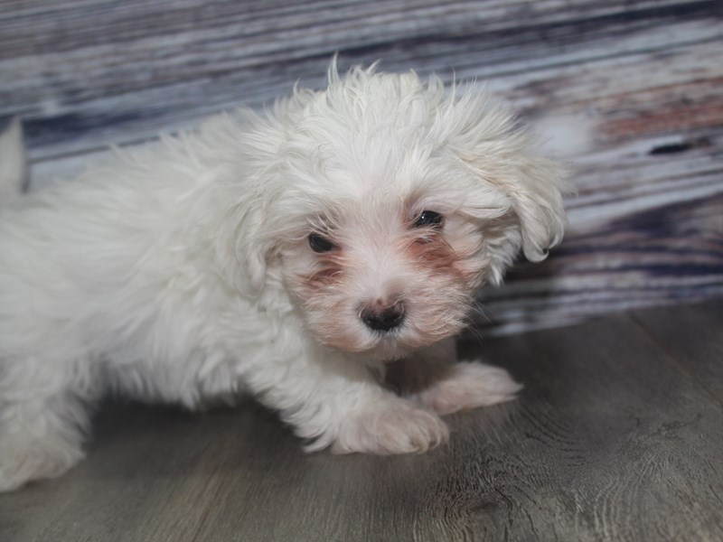 Maltese-Male-White-2831951-Pet City Houston
