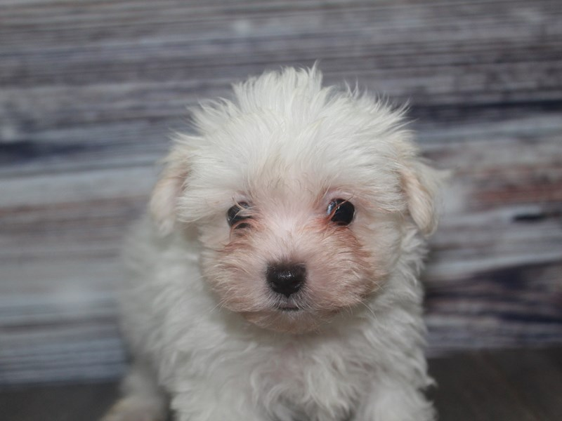 Maltese-Female-White-2831952-Pet City Houston
