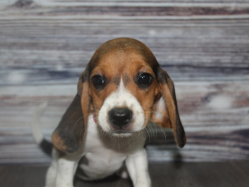 Beagle-Female-Tri-2831993-Pet City Houston